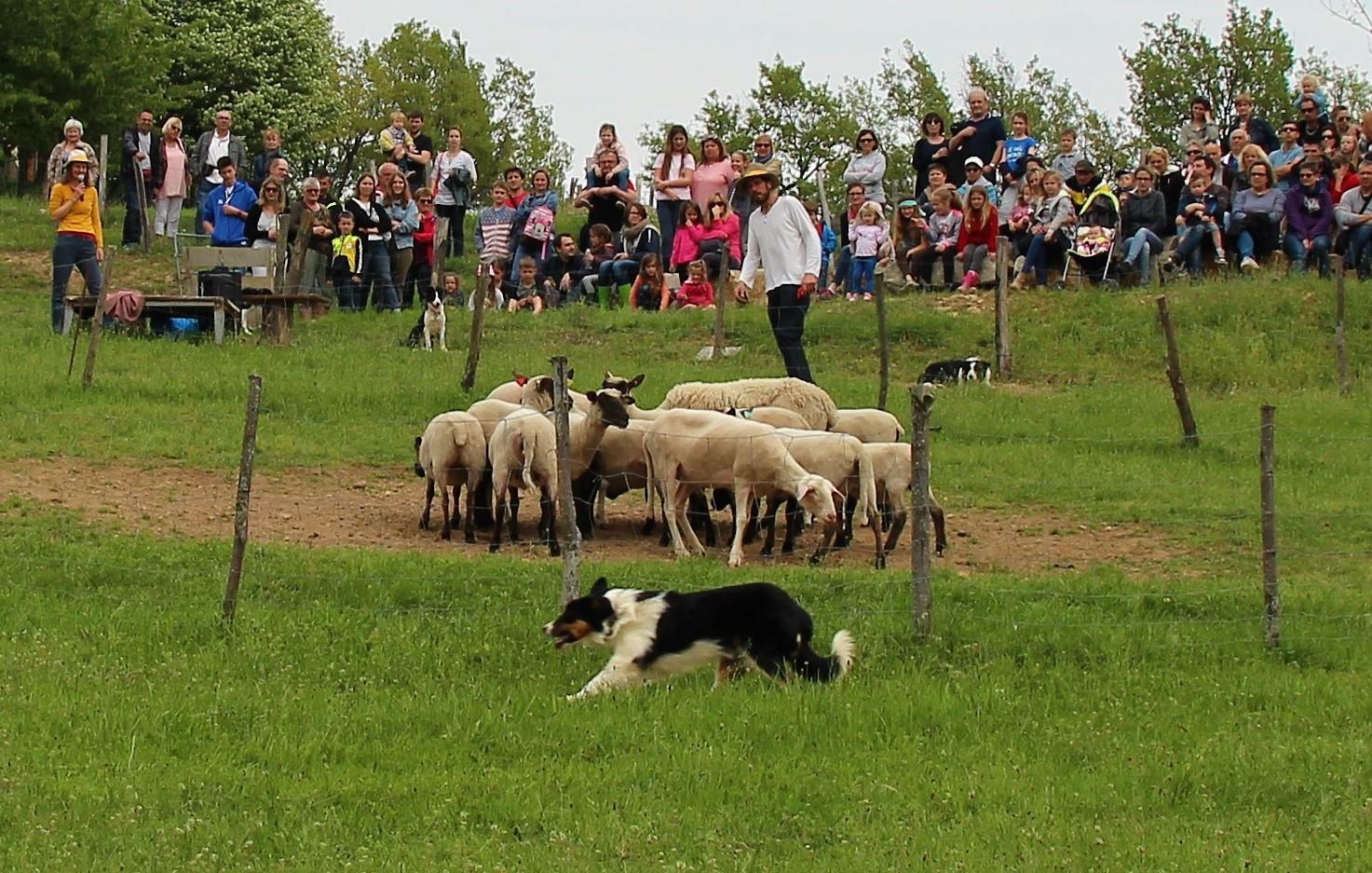 démonstrations de chiens de berger
