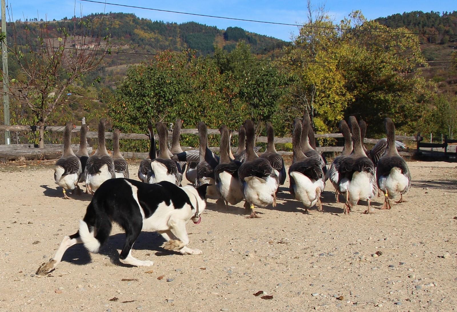 démonstration de chiens de troupeau